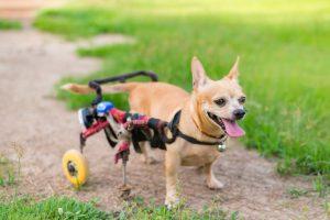 車椅子のチワワ
