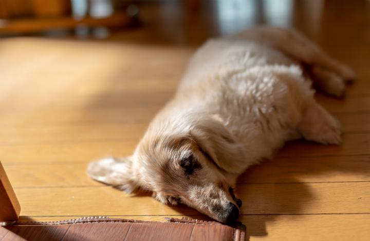 老犬が起きない 最近ずっと寝ている 飼い主がとるべき行動は