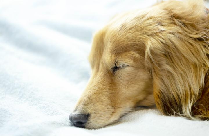 眠るミニチュアダックス