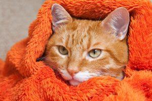 老猫の低体温