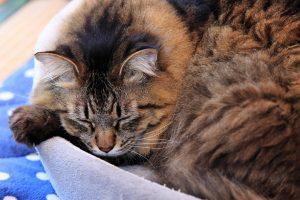 寝てばかりの老猫